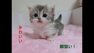 【マンチカン】赤ちゃん 足短い よちよち歩きかわいい❤ くりくりお目め 子猫 癒し【Munchkin】