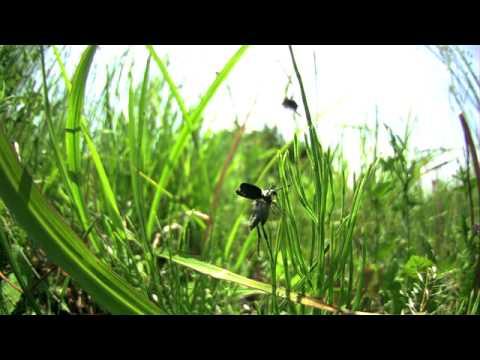 ヒゲブトハナムグリの飛翔 高速度