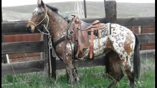 Appaloosa Horse Horse | Set Of Picture Collection Of Horses