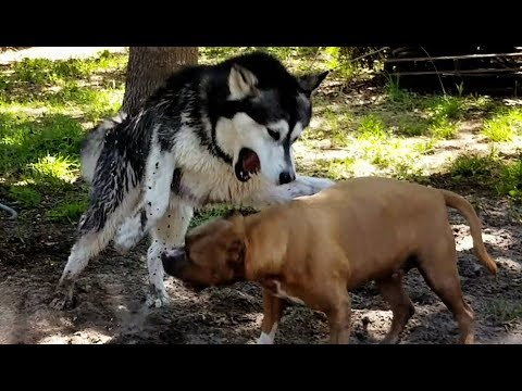 Backyard Brawl Malamute VS Pitbull!!!