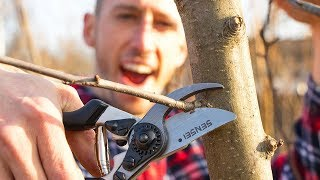 How to Prune an Apple Tree!