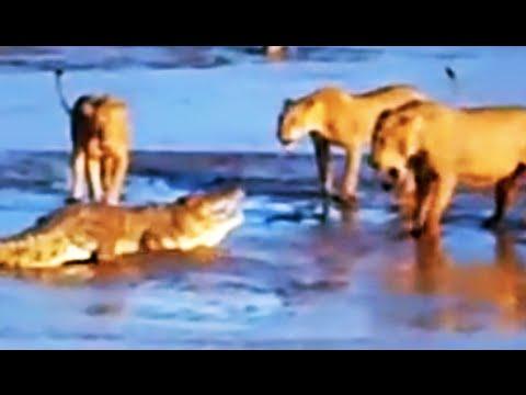 معركة شرسة بين ثلاثة أسود وتمساح