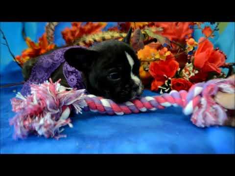 Nala AKC Black Brinde Female French Bulldog Puppy for sale.