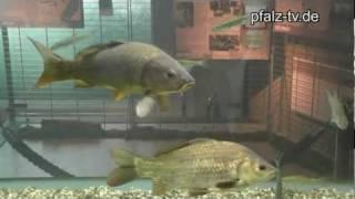 preview picture of video 'Ausflugsziel - Die Fischtreppe ( Fischpass ) von Rheinau / Gambsheim'