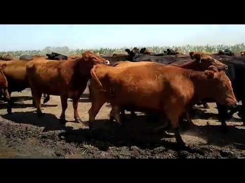 Afiche 157 Vacas con servicio - Bolívar