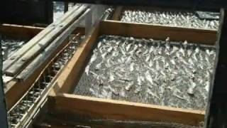 preview picture of video 'Kenya: How to dry fresh fish'