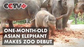 One-month-old Asian Elephant Makes Zoo Debut