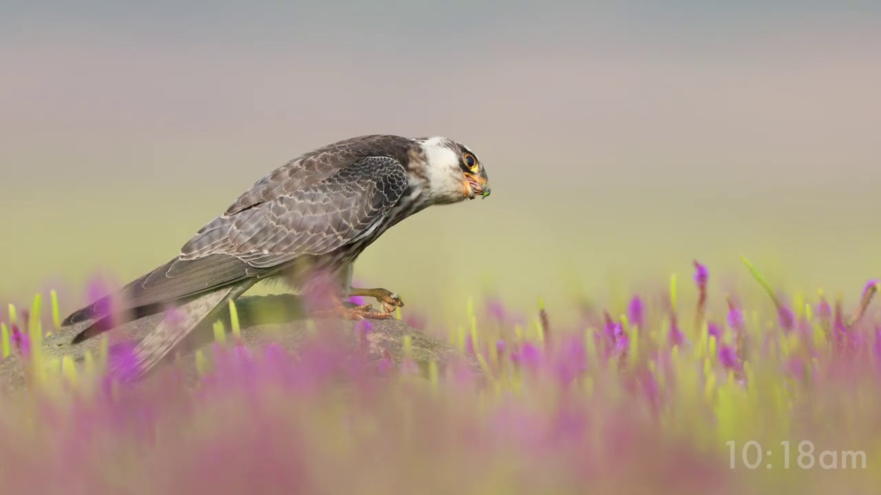 bird photography amur falcon spectacle by kenneth lawrence