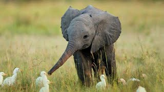 Cutest And Funniest Baby Elephant Videos Complation