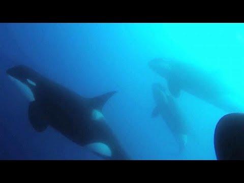 العرب اليوم - شاهد: اكتشاف نوع جديد من الحيتان القاتلة يختلف عن