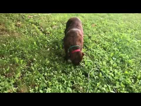 Cola, an adopted American Staffordshire Terrier & Mastiff Mix in Yonkers, NY