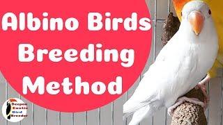 Medicines For Quick Breeding Of Birds - hmong video