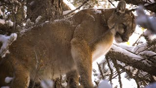 Cougar Hunting With Dogs (Mountain Lion Bow Hunt)