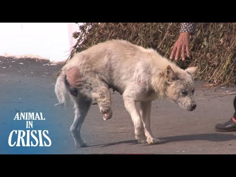 Three-Legged Dog Wants To Get A Hug From A Grandma Though Afraid Of Humans | Animal in Crisis EP109