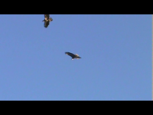 Vol de pygargue / Bald eagles flying