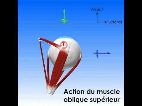 Troponin dans les muscles à fibres lisses