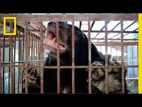 The Fight to Stop Illegal Bear Trafficking in Southeast Asia | National Geographic thumbnail