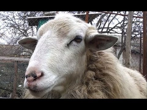 Разведение овец. Минусы и недостатки овцеводства.