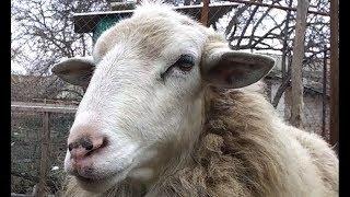Как поймать овцу в поле