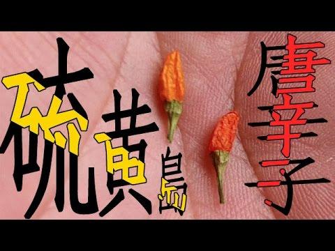 硫黄島の島トウガラシを育てて食う 激辛爆弾!