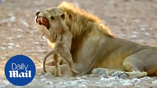 Adorable lion cub isn't afraid of his father as he wrestles with him