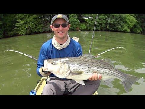 Cut Bait for Big Striped Bass