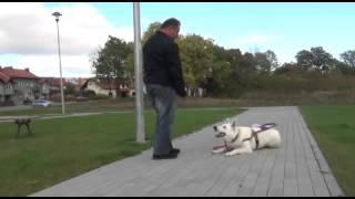 {Biały Owczarek Szwajcarski/ White Swiss Shepherd} Pies przewodnik w Malborku