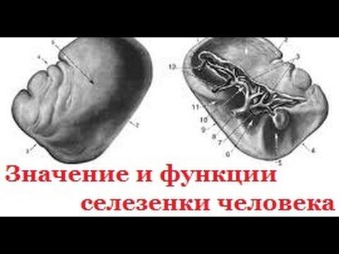 Значение и функции селезенки человека