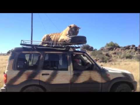 טיגריס קופץ לביקור על רכב
