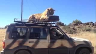 Тигр прокатился на крыше джипа