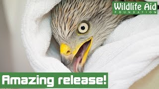 An amazing release for injured red kite!