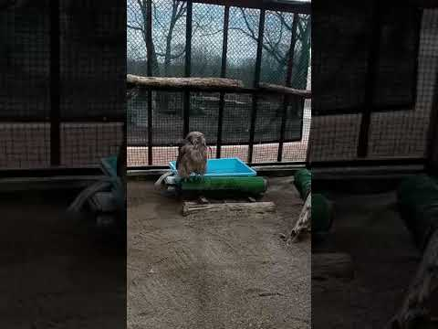 天然記念物シマフクロウのアカネ(2019年生まれのメス)