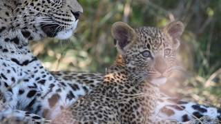 MOTHER LEOPARD and CUB at PLAY