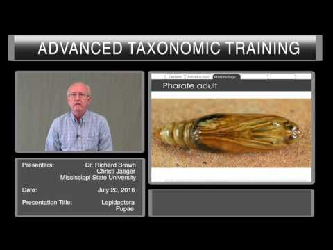 Introduction to Lepidoptera - pupae characters