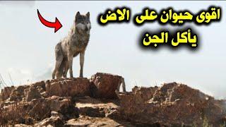 لماذا يخاف الجن من الذئب وكيف ياكل الذئب الجن ؟ وكيف تنجو من ذئب اذا اصبح امامك فى الطريق ؟
