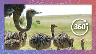 Ostrich Babies in 360 4K (Wildlife and Nature 2018)