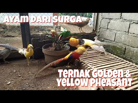 Video Ternak ayam Golden & yellow pheasant