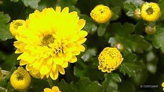 Blooming Chrysanthemum Flower Time Lapse