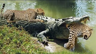 Crocodiles Wait For Leopard Across The River   Harsh Life