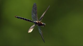 Dragonfly in Slow Motion | Earth Unplugged