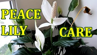 PEACE LILY   How To Care Indoor House Plant Spathiphyllum   Best Indoor Houseplant