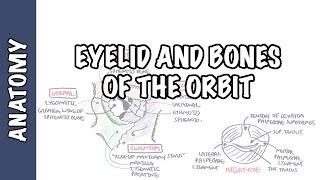 Anatomy   Eye Orbit and Eyelid