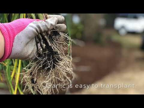 , title : 'Transplanting garlic