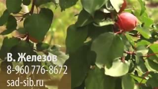 """Вопрос В. Железову: """"Выросли маньчжурские абрикосы из ваших семян. Что на них прививать?"""""""