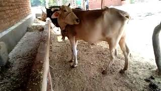 Treatment of cows at Shri Shyam Sunder Gaushala