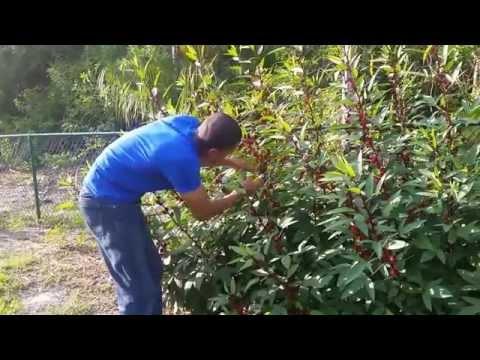 Hibiscus Harvesting Report