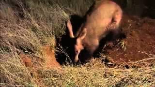 Wildlife Wonders- Aardvark