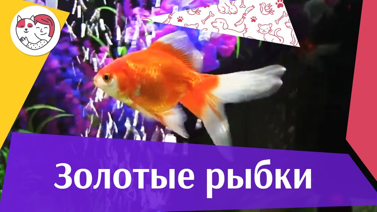 Золотые рыбки Ч 2 АкваЛого на ilikePet