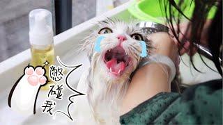 【李喜貓】短腿猫被主人暴力洗澡气得破口大骂:明明说好只洗屁屁,又骗猫!