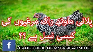 Poultry Breed Delaware characteristics urdu/hindi - Thủ